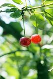 Big sweet and juicily cherries Royalty Free Stock Images