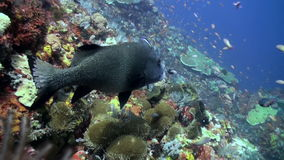 Big sweetlips fish and  cleaner fish on the reef stock footage