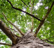 Big sycamore tree. Low angle shot royalty free stock photos