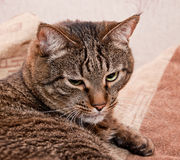 Big tabby cat Royalty Free Stock Image