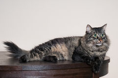 Big tabby cat. Big beautiful tabby cat resting at home Stock Images