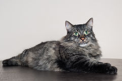 Big tabby cat. Big beautiful tabby cat resting at home Royalty Free Stock Images