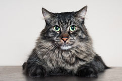 Big tabby cat Royalty Free Stock Images