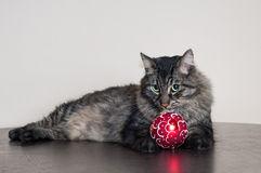 Big tabby cat with a christmas ball. Big beautiful tabby cat resting at home Royalty Free Stock Photography