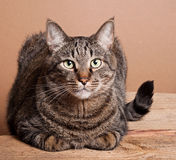 Big tabby cat Royalty Free Stock Photos
