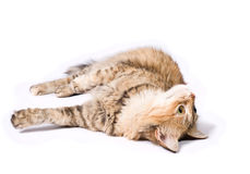 Big tabby Siberian cat Stock Photography