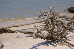 Big Talbot Island. Fallen trees on the beach of Big Talbot Island in North East Florida. The trees have been brought down by storm waters battering the shore royalty free stock photography