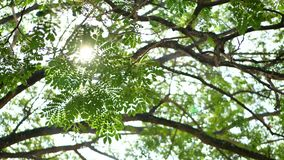 Big and tall rain tree`s branches against bright sunlight in summer time. Selective focus of a big and tall rain tree`s branches against bright sunlight in stock video footage
