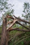 Collapse tree danger. Big tall tree collapse in country side stock photos