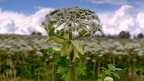Big tall, very harmful, fast-growing weed - hogweed. The field is completely overgrown with a plant with tall stems about 3-4. A big tall, very harmful, fast stock photos