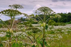 Big tall, very harmful, fast-growing weed - hogweed. The field is completely overgrown with a plant with tall stems about 3-4. A big tall, very harmful, fast royalty free stock image