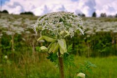 Big tall, very harmful, fast-growing weed - hogweed. The field is completely overgrown with a plant with tall stems about 3-4. A big tall, very harmful, fast royalty free stock photography