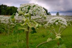 Big tall, very harmful, fast-growing weed - hogweed. The field is completely overgrown with a plant with tall stems about 3-4. A big tall, very harmful, fast stock photo