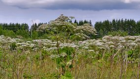 Big tall, very harmful, fast-growing weed - hogweed. The field is completely overgrown with a plant with tall stems about 3-4. A big tall, very harmful, fast royalty free stock photo