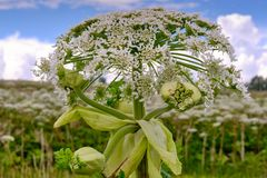 Big tall, very harmful, fast-growing weed - hogweed. The field is completely overgrown with a plant with tall stems about 3-4. A big tall, very harmful, fast stock image