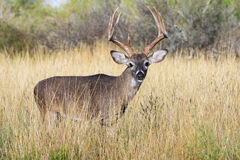 Big tall whitetail buck Royalty Free Stock Photography