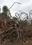 Big tangled snag on the hill. On cloudy day Stock Image