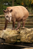 Big tapir. Standing on the rock in the zoo Stock Photos