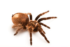 Big Tarantula Royalty Free Stock Photo