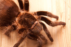 Big Tarantula Royalty Free Stock Photos