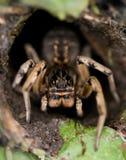 Big tarantula Royalty Free Stock Photography
