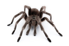 Big tarantula. Spider on white table. macro view Stock Photography