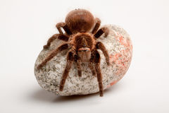 Big Tarantula on Rock Stock Image