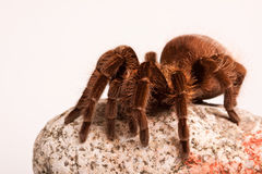 Big Tarantula on Rock Royalty Free Stock Photos
