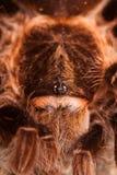Big Tarantula on Rock Royalty Free Stock Images