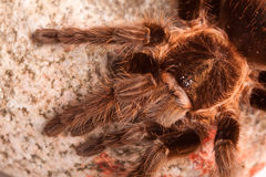 Big Tarantula on Rock Stock Photo