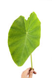 Big taro leaf. Hand holding a taro leaf with white background royalty free stock photos