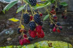 Big tasty blackberries on the bush Stock Image