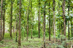 Big teak tree in forest Stock Photos
