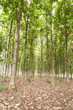 Big teak tree in forest,Green Stock Photo