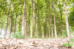Big teak tree in forest,Green Stock Photos