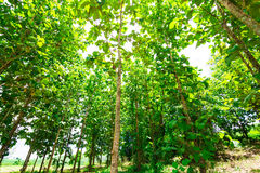 Big teak tree forest Royalty Free Stock Image