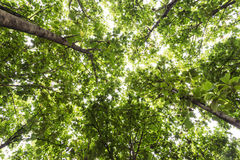Big teak tree, Green fresh Stock Photography