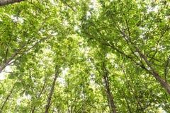 Big teak tree, Green fresh Stock Images