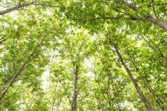 Big teak tree, Green fresh Royalty Free Stock Photography