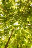 Big teak tree, Green fresh Royalty Free Stock Image