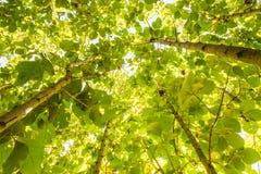 Big teak tree, Green fresh Stock Photos