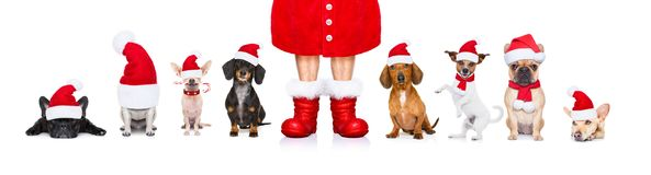 Big team row of dogs on christmas holidays stock image
