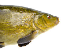Big tench fish  head on white Royalty Free Stock Photos