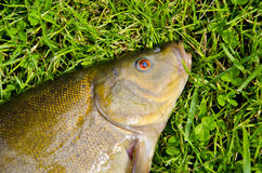 Big tench head and eye on grass after fishing Stock Images