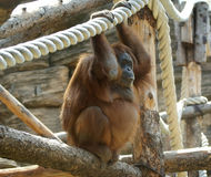 Big terrible orangutan Royalty Free Stock Photography
