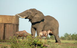 Big Thirst. Elephant with big thirst at man made water dam in Kruger National Park Stock Images