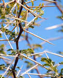 Big thorns. Stock Images