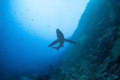 Big thresher shark royalty free stock photos
