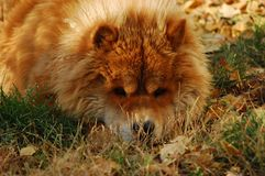 Big Tibetan Mastiff dog Kneeling on the grass in winter days. royalty free stock photo