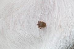 Big Ticks on a dog. Stock Image